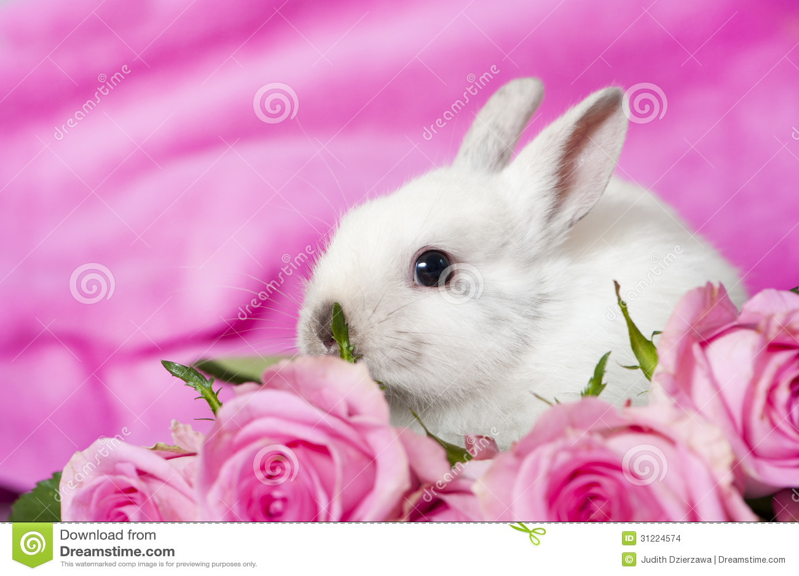 Dwarf Rabbit Stock Images Image 31224574