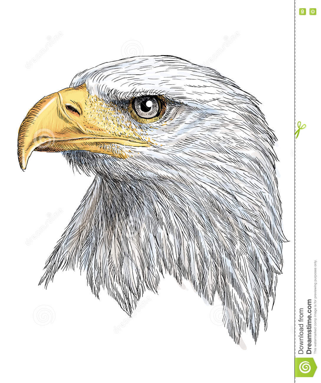 Eagle Head Color Vector Stock Vector Illustration Of Paint 77591671