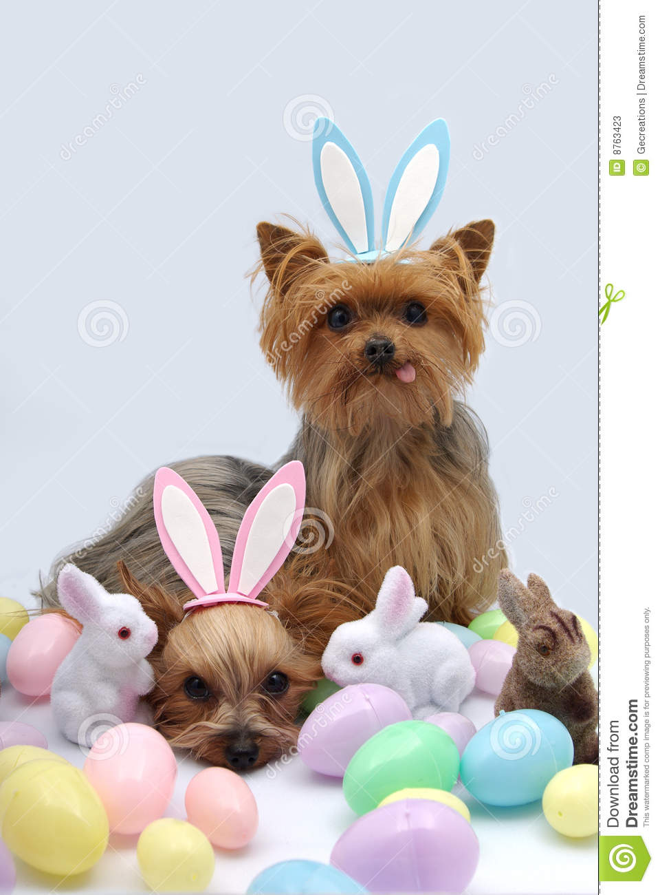 Easter Yorkshire Terrier Dogs Stock Photos  Image 8763423