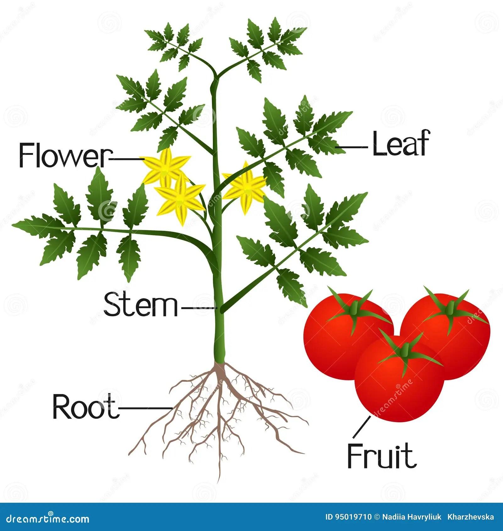 Ejemplo Que Muestra Las Partes De Una Planta De Tomate