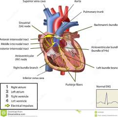 Cardiac Conduction System Diagram Simple Vehicle Wiring The Electrical Of Heart Stock Vector