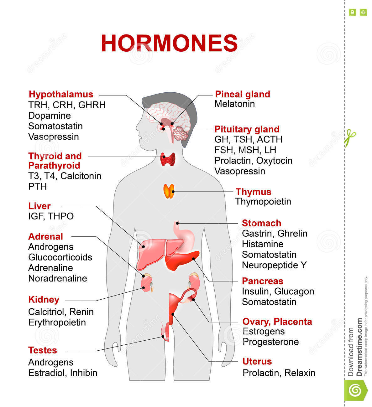 Endocrine Gland And Hormones Stock Vector