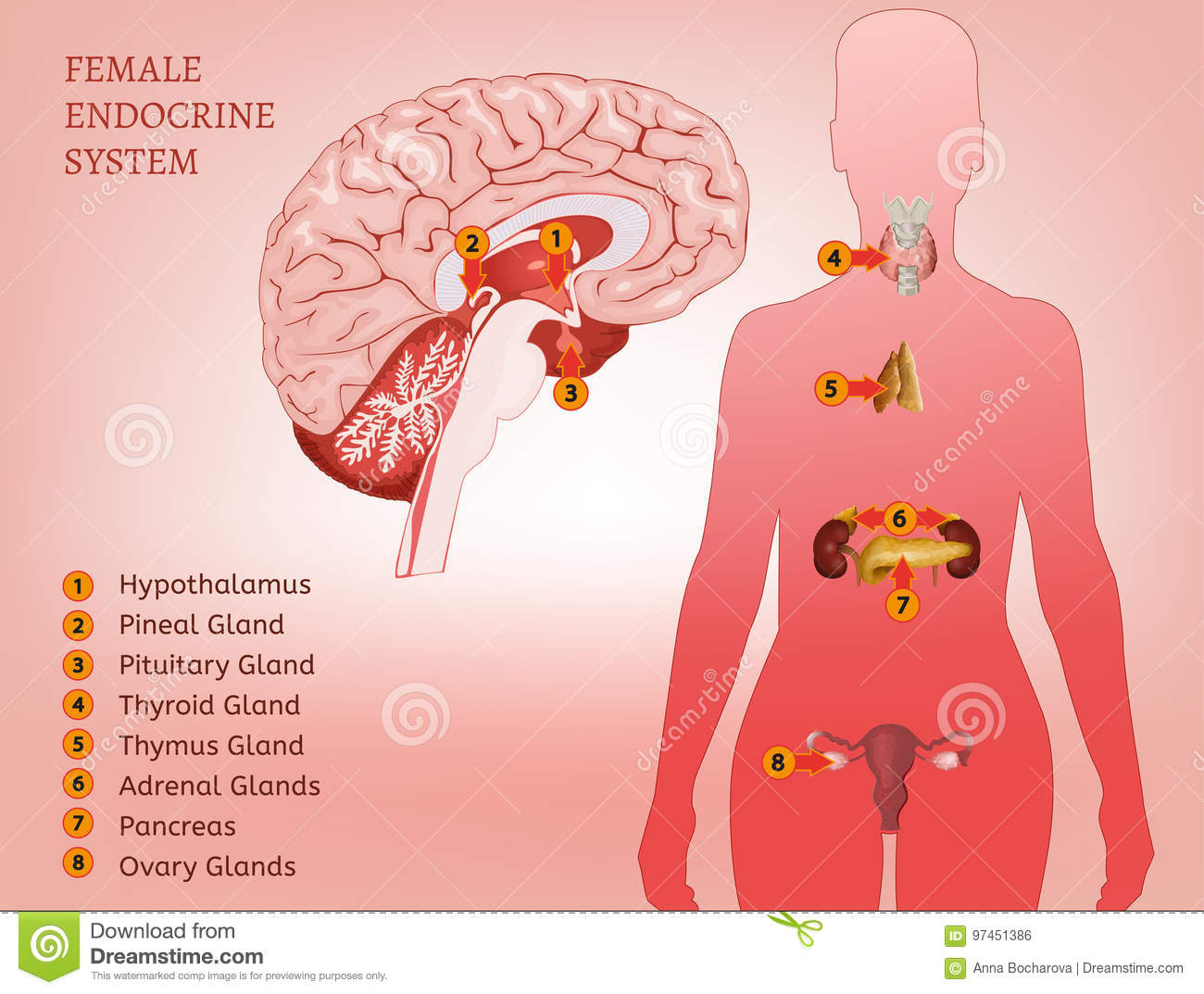 Endocrine System Woman Stock Vector Illustration Of