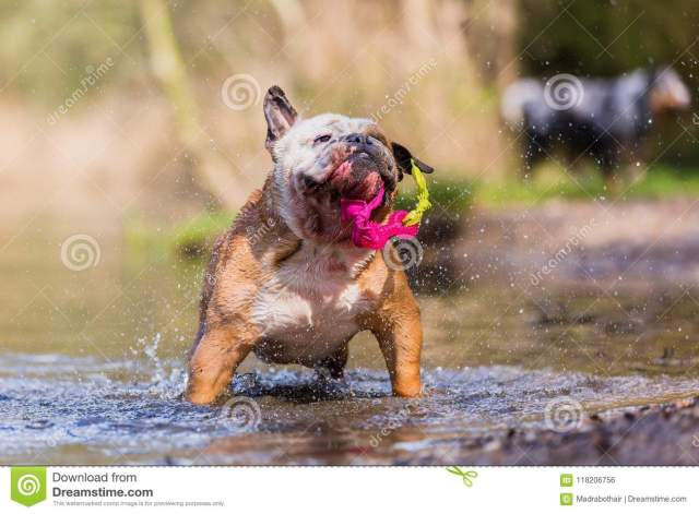 english bulldog plays with a toy in a lake stock photo - image of