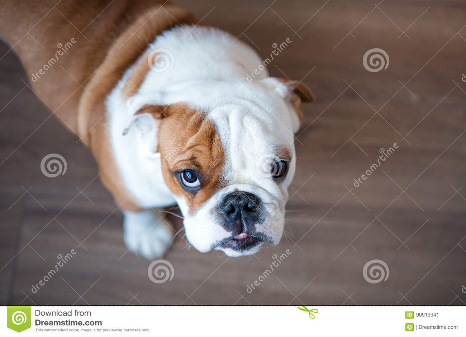 English Bulldog In Stylish Home Enjoying Life Stock Image - Image of coffee. expression: 90919941