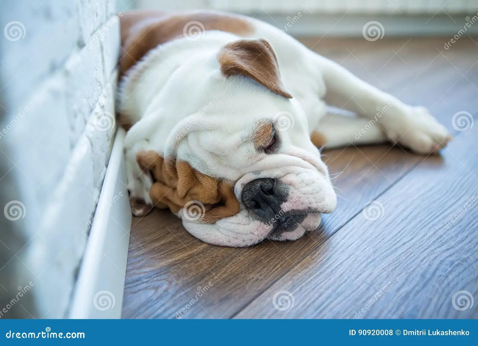 English Bulldog In Stylish Home Enjoying Life Stock Photo - Image of lifestyle. home: 90920008