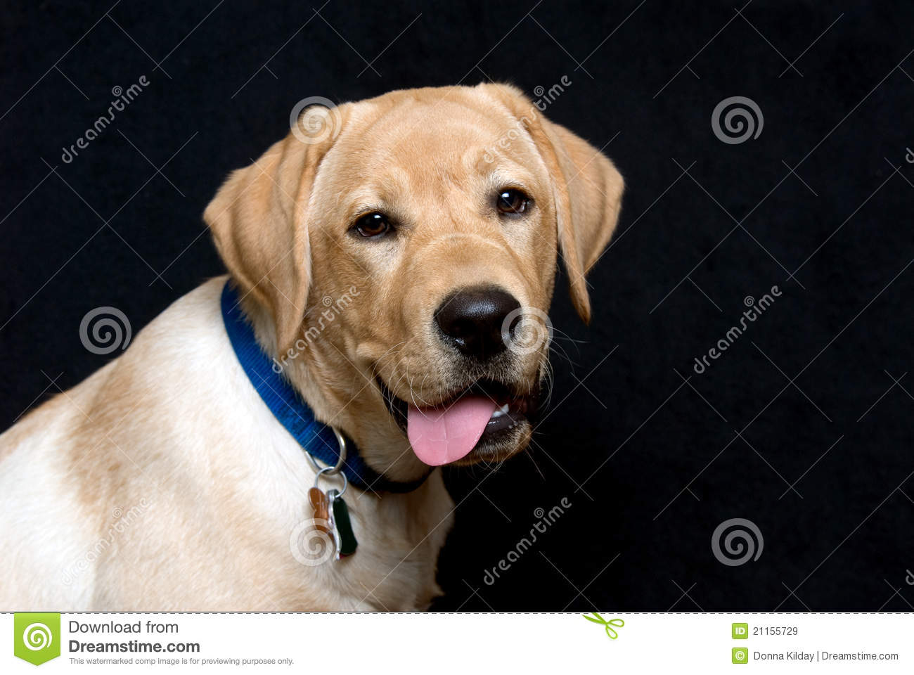 3d Animation Wallpaper For Pc English Labrador Retriever Puppy Royalty Free Stock Images
