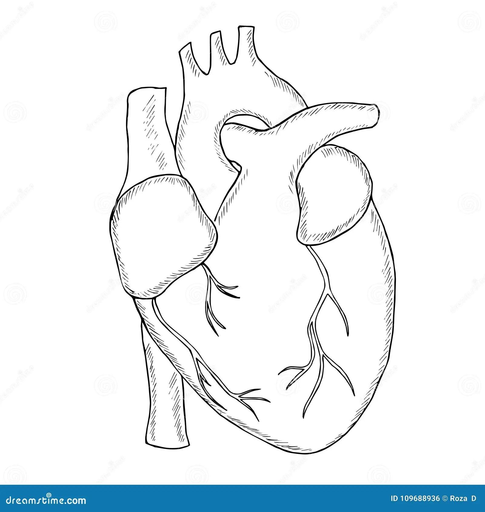 Human Heart Sketch Liner Stock Vector Illustration Of