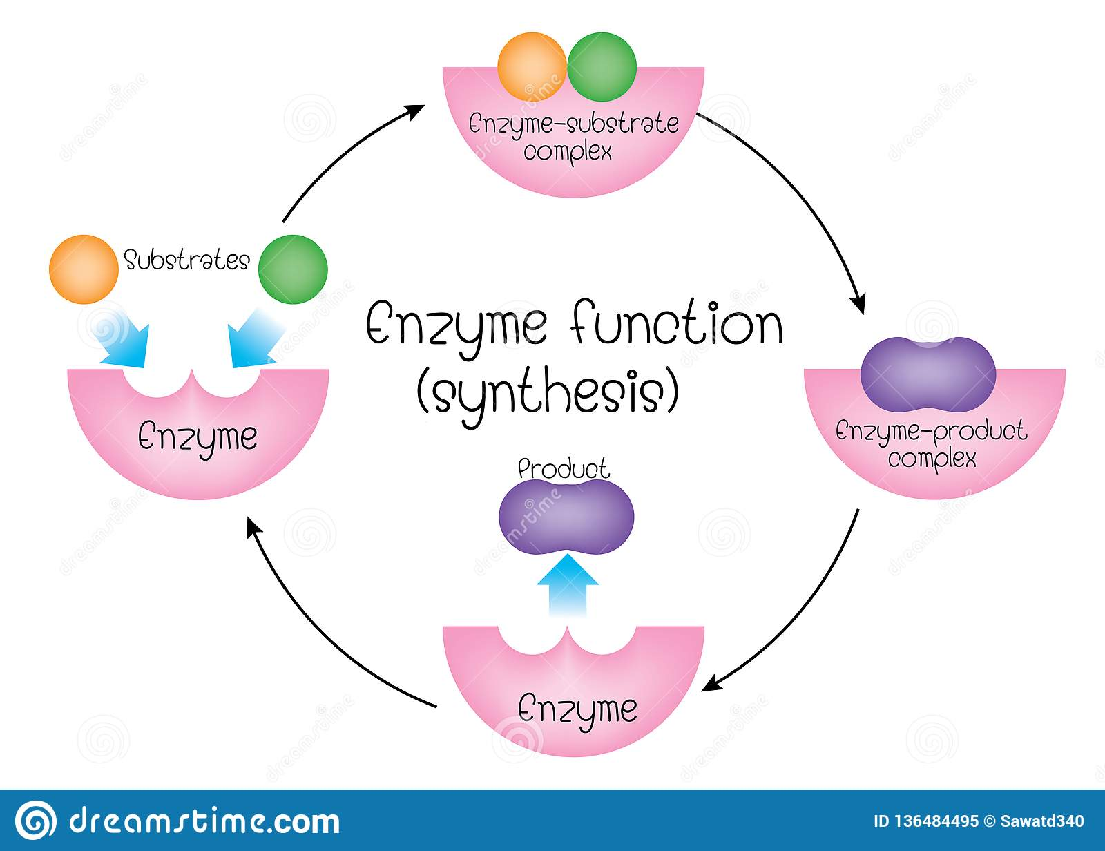 hight resolution of enzyme function synthesis diagram for education