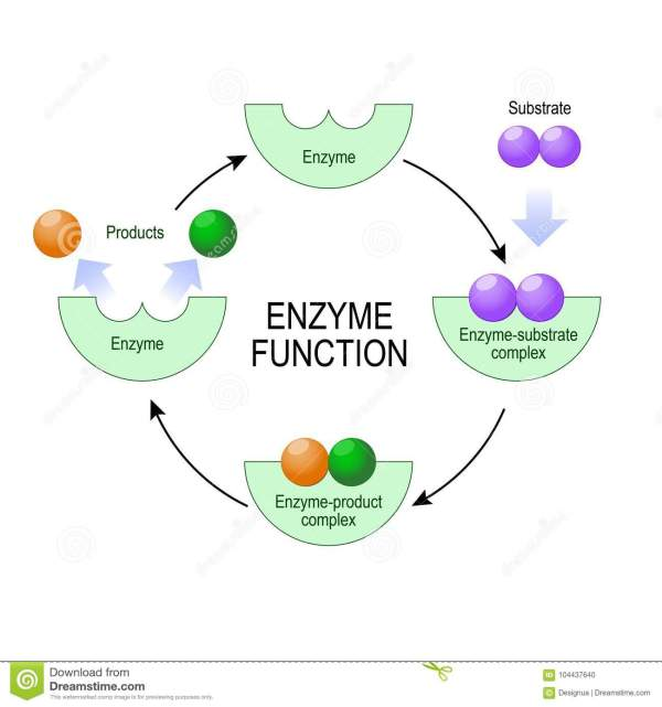 Substrates Enzymes Illustration