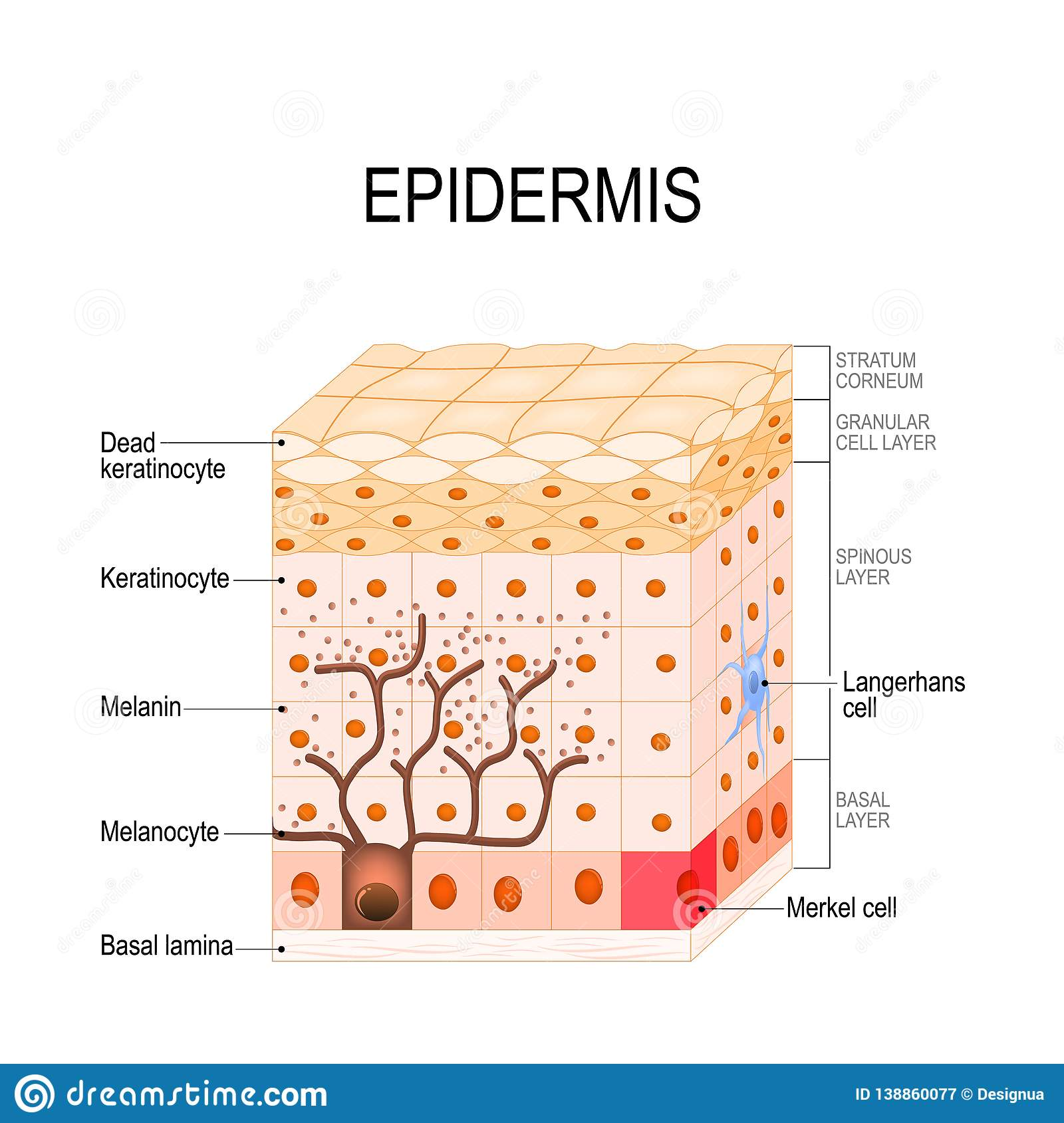 Epidermis Structure Cell And Layers Of A Human Skin