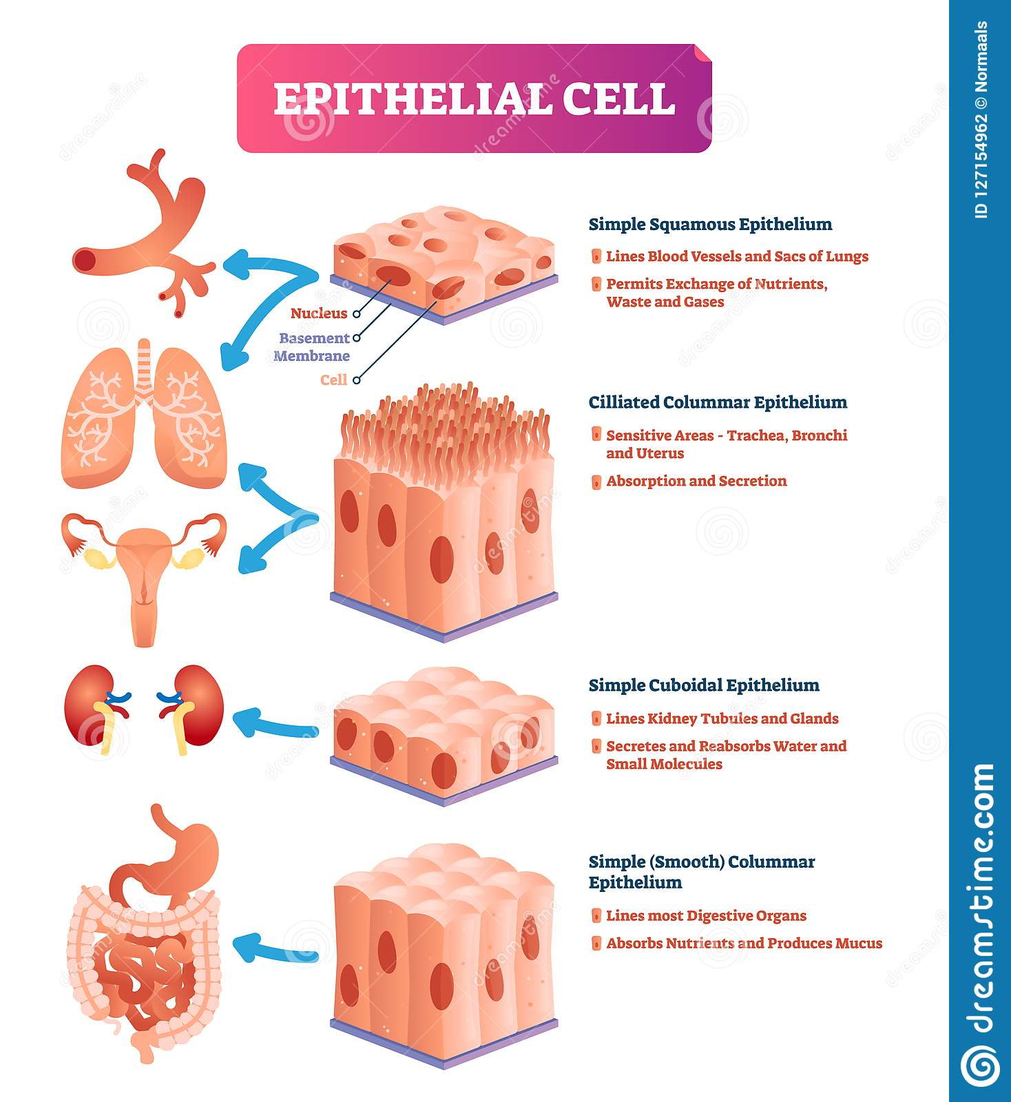 Intestinal Epithelial Cell Royalty Free Stock Image