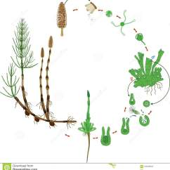 Horsetail Plant Diagram Intermatic Sprinkler Timer Wiring Equisetum Life Cycle Of Arvense With Monomeric Gametophyte