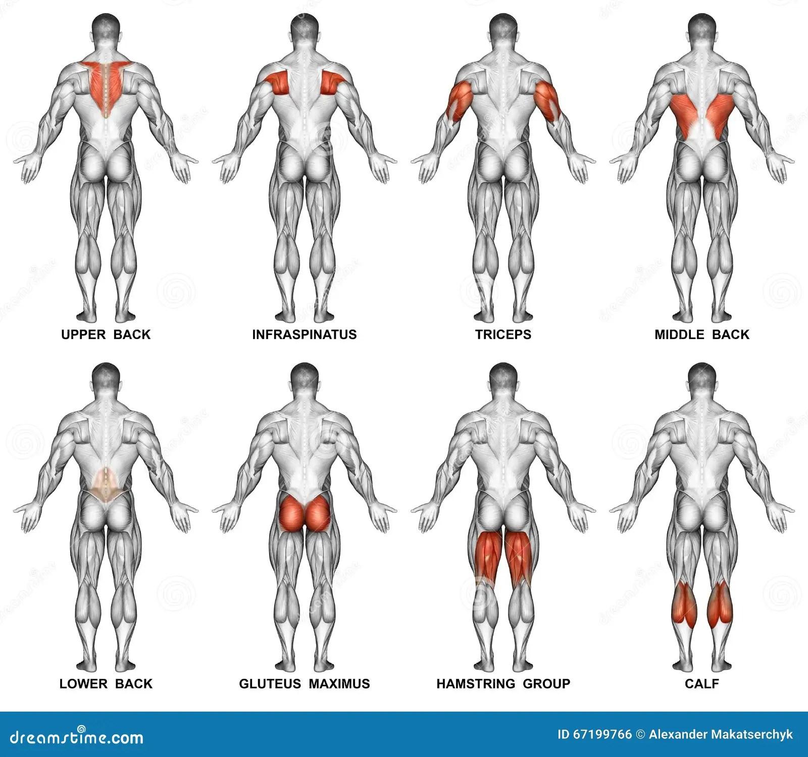 Esercitarsi Proiezione Posteriore Del Corpo Umano Fotografia Stock