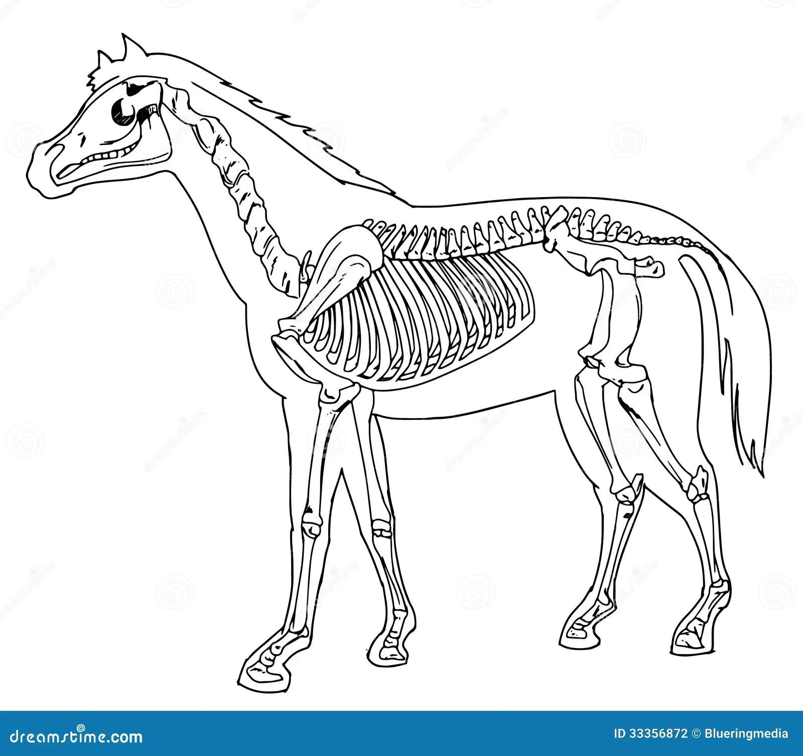 Esqueleto Del Caballo Fotografia De Archivo