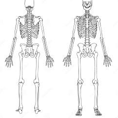Blank Skull Diagram Anterior Hagstrom Swede Wiring Esqueleto Humano Frente Y Parte Posterior Imagen De