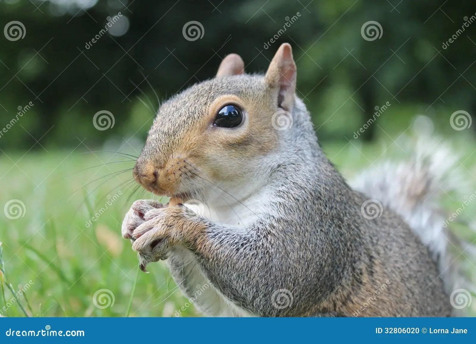 Esquilo Cinzento Que Chama Perto Acima Na Grama Com Cauda Espessa Foto de Stock  Imagem de