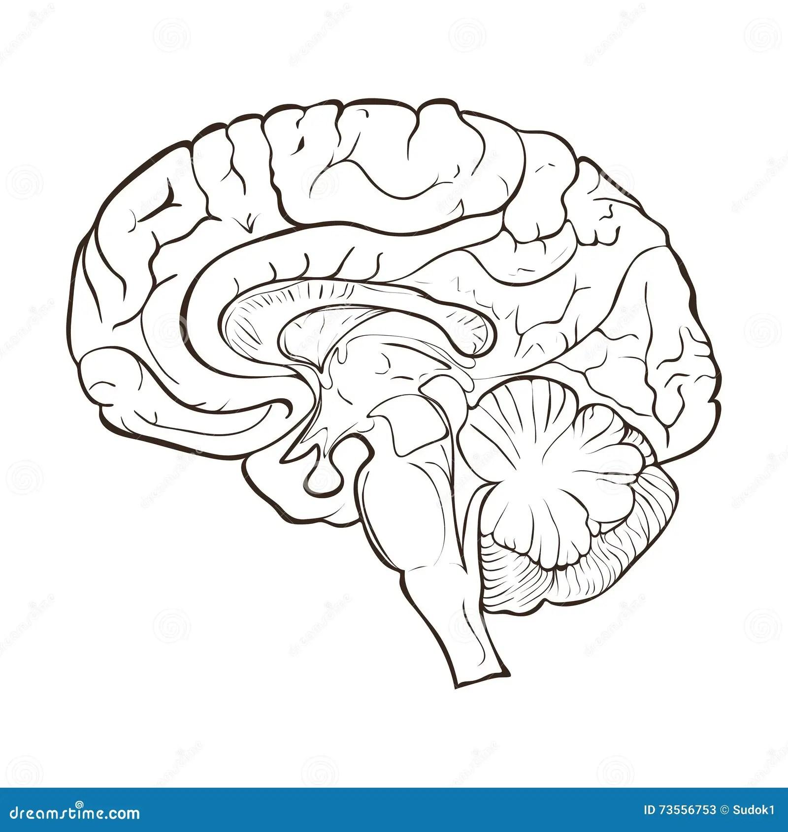 Estructura De Los Hemisferios Del Cerebro Humano Stock De