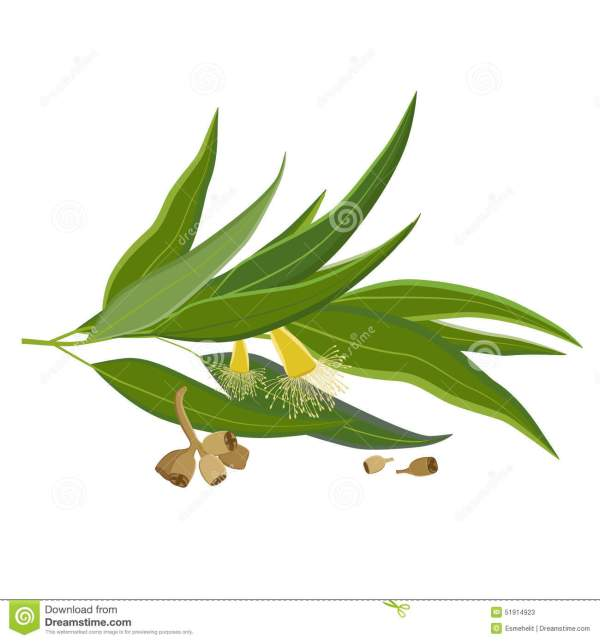 Eucalyptus Leaves Flowers And Seeds Outline Stock Vector