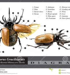 rhino head diagram wiring diagrams the eupatorus gracilicornis beetle diagram stock image image of animal rhino [ 1300 x 982 Pixel ]
