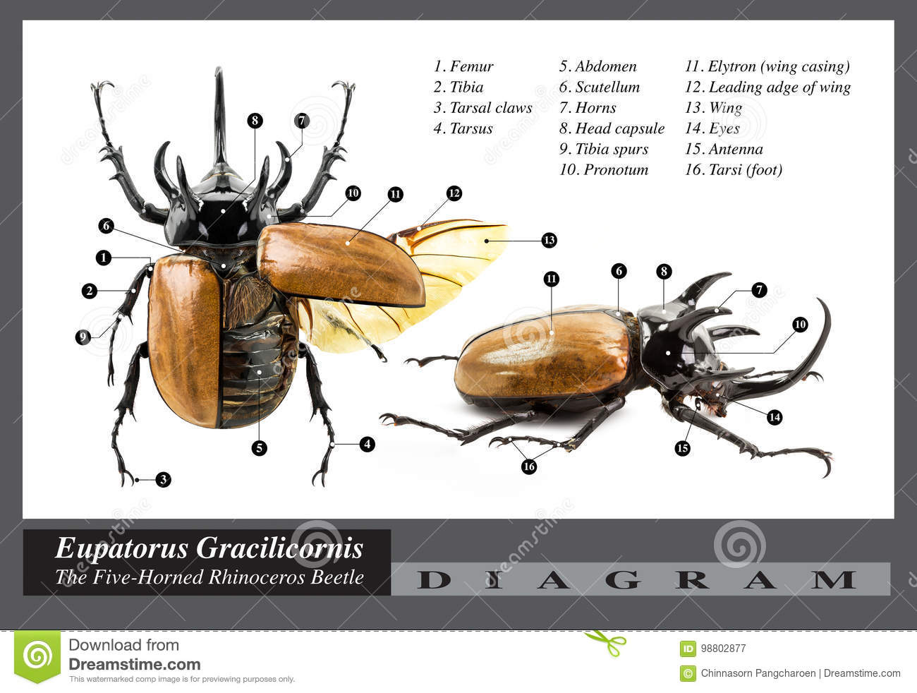 hight resolution of eupatorus gracilicornis beetle diagram