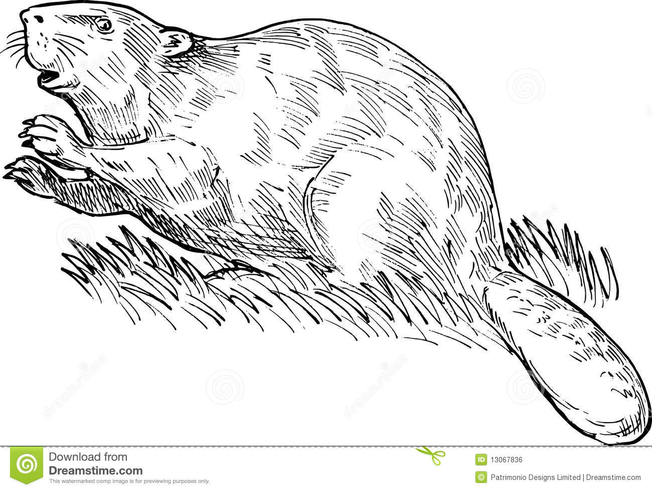 European Or Eurasian Beaver Royalty Free Stock Image