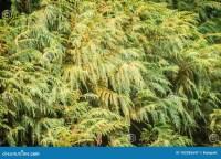 Siberian Carpet Cypress Plant - Carpet Vidalondon
