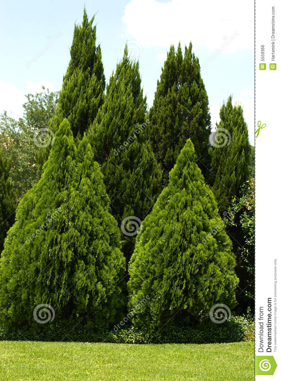 Evergreen Trees In Green Yard Stock Photo  Image of
