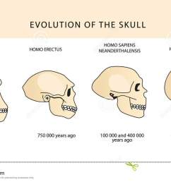 evolution of the skull human skull australopithecus  [ 1300 x 821 Pixel ]
