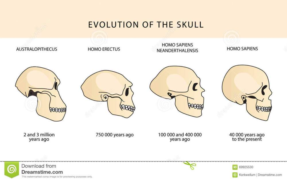 medium resolution of evolution of the skull human skull australopithecus