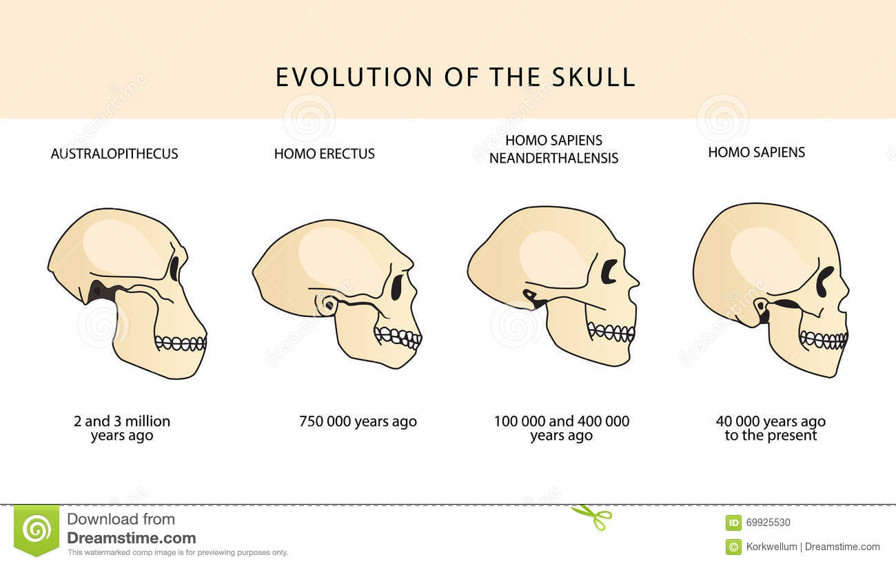 hight resolution of evolution of the skull human skull australopithecus