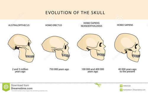 small resolution of evolution of the skull human skull australopithecus