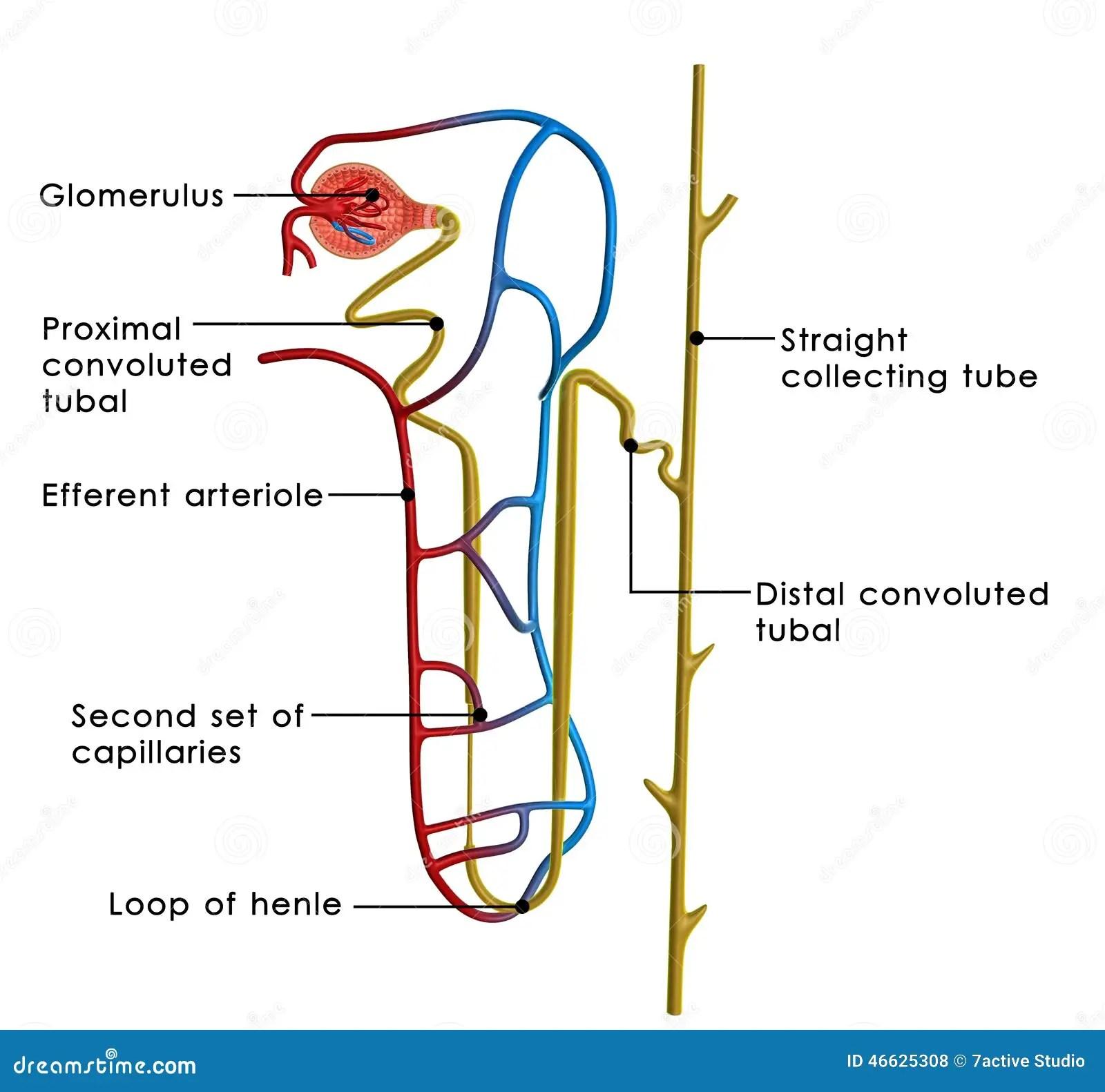 excretory system diagram basic 2002 nissan sentra parts excretiesysteem stock illustratie afbeelding 46625308