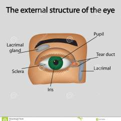 Parts Of The Eyelid Diagram Guitar Wiring Diagrams 2 Pickups External Structure Eye Vector Stock