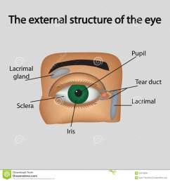 the external structure of the eye vector [ 1300 x 1390 Pixel ]