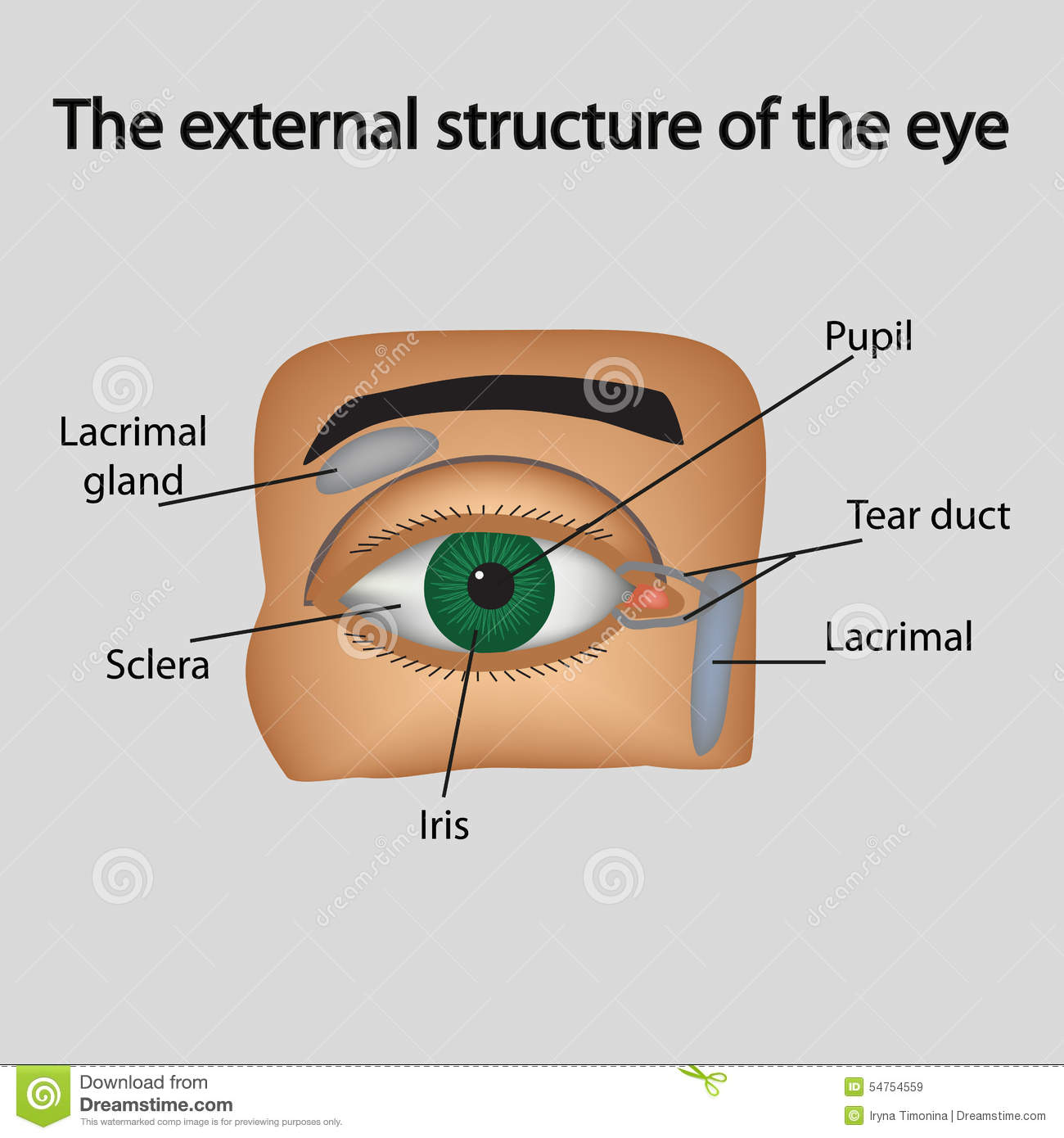 hight resolution of the external structure of the eye vector