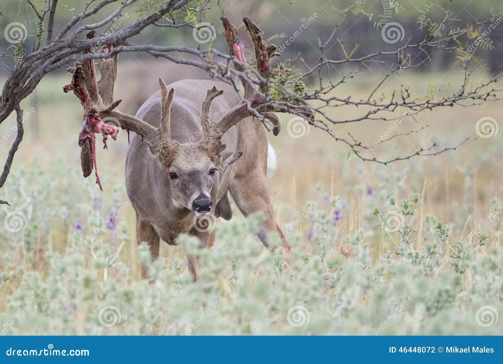 diagram of whitetail deer skull ear label test antler scoring antlers chart