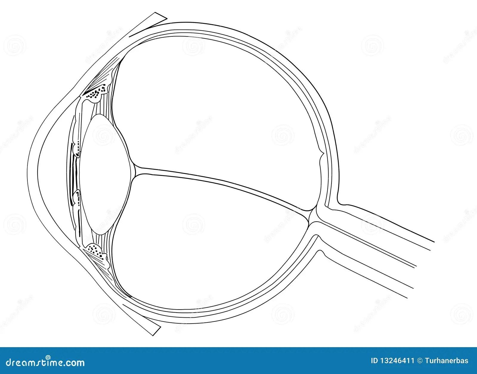 eye anatomy vintage diagram cell cycle blank worksheet stock vector illustration of circle nerve
