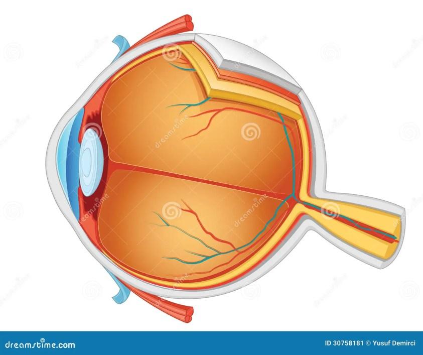 Eye Anatomy Illustration Stock Image - Image: 30758181