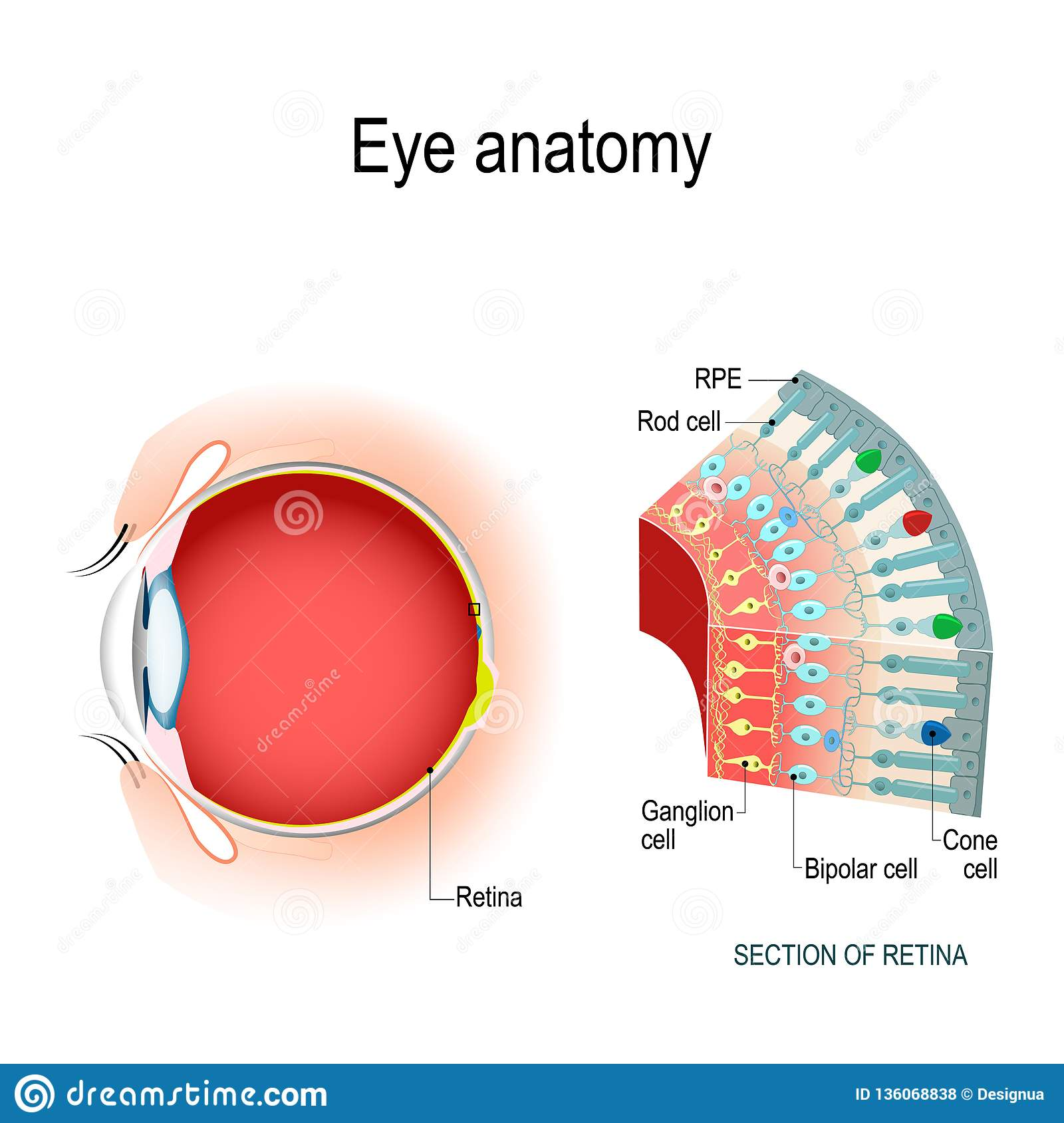 hight resolution of eye anatomy rod cells and cone cells the arrangement of retinal cells is shown in a cross section vector diagram for your design educational