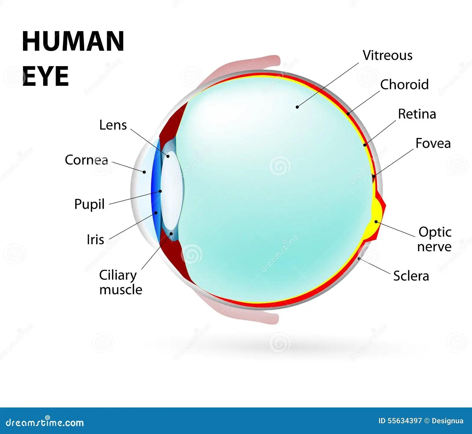 Eye Human Anatomy Stock Vector Image 55634397