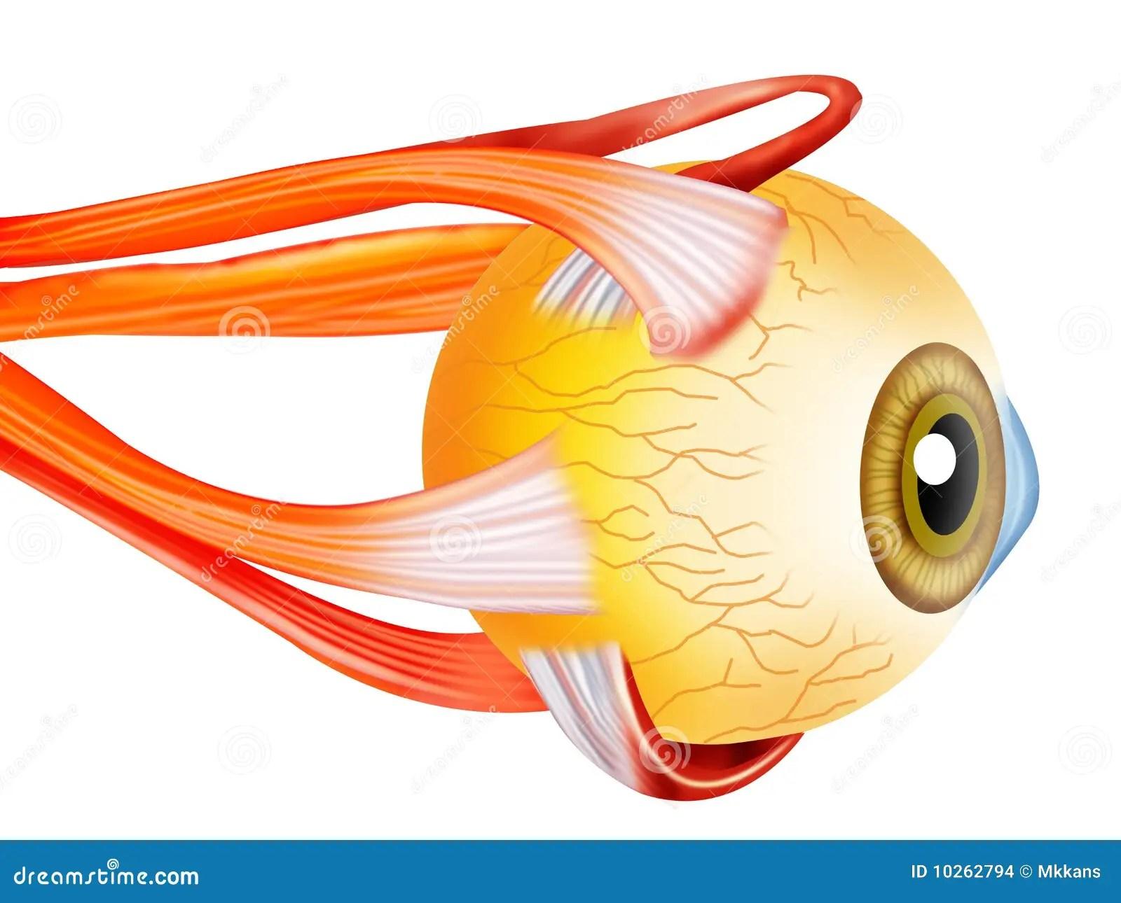 Eye Structure Stock Illustration Illustration Of Refract