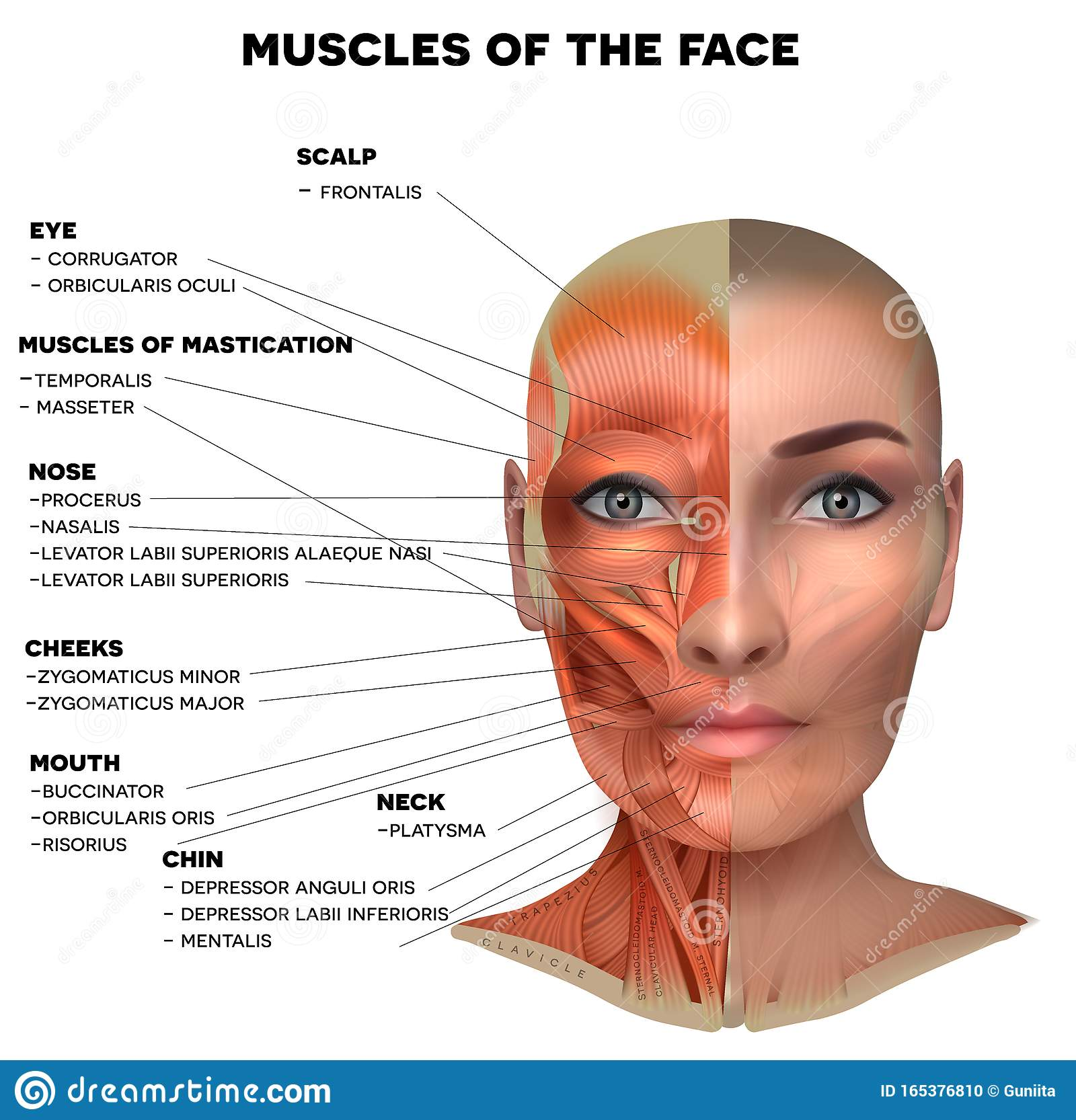 Facial Muscles Of The Female Stock Vector