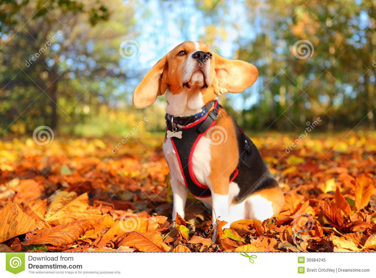 Fall Leaves Dancing Wallpaper Fall Beagle Dog Stock Image Image Of Colours Harness