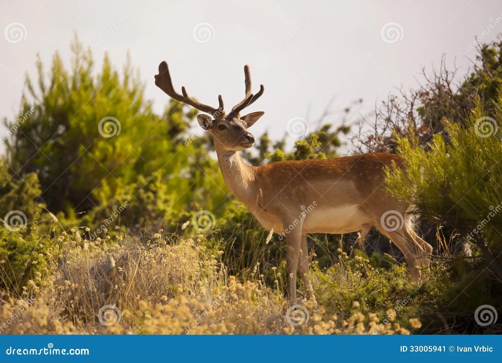 Fallow Deer In Natural Habitat Stock Image