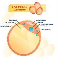 fat cell structure vector illustration labeled anatomical adipocyte diagram  [ 1674 x 1600 Pixel ]
