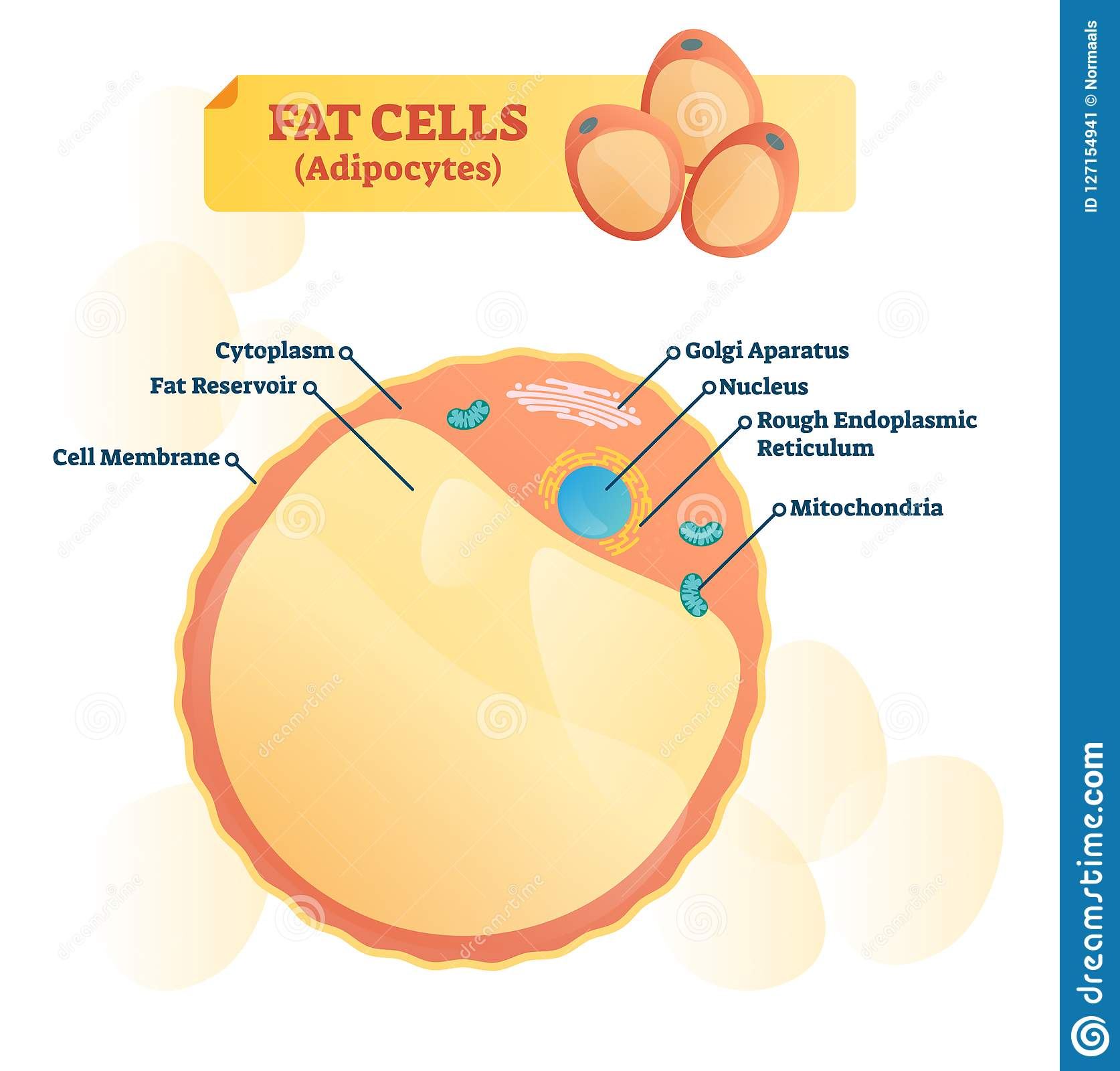 hight resolution of fat cell structure vector illustration labeled anatomical adipocyte diagram