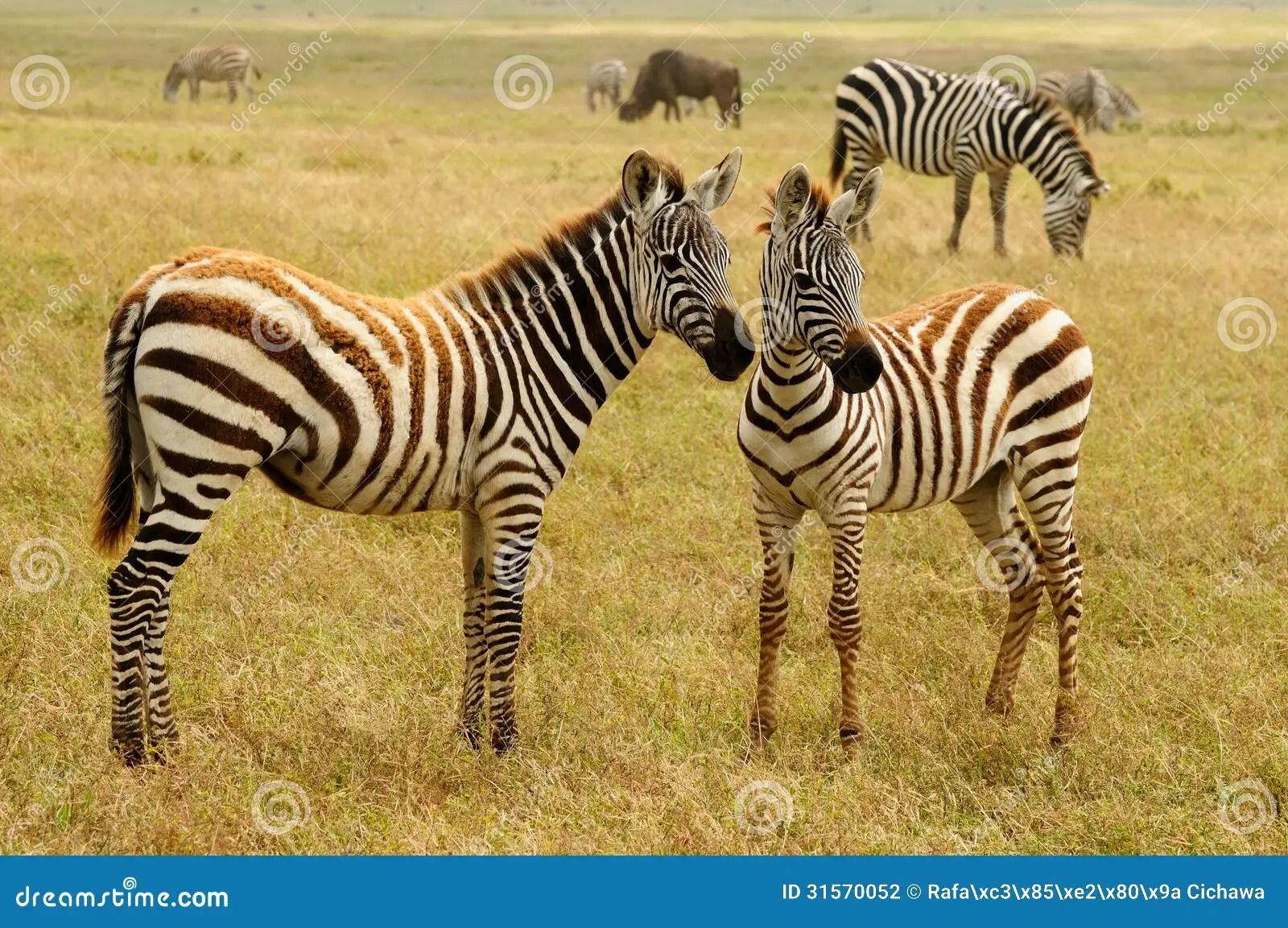 Fauna Selvatica In Africa Zebre Fotografia Stock