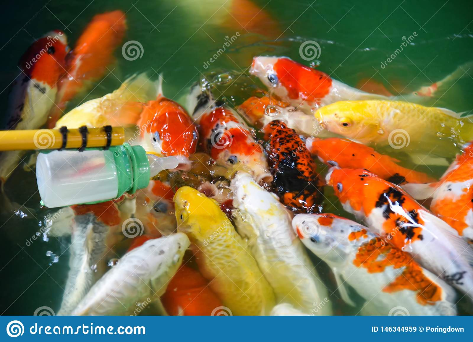 feeding fish carp with