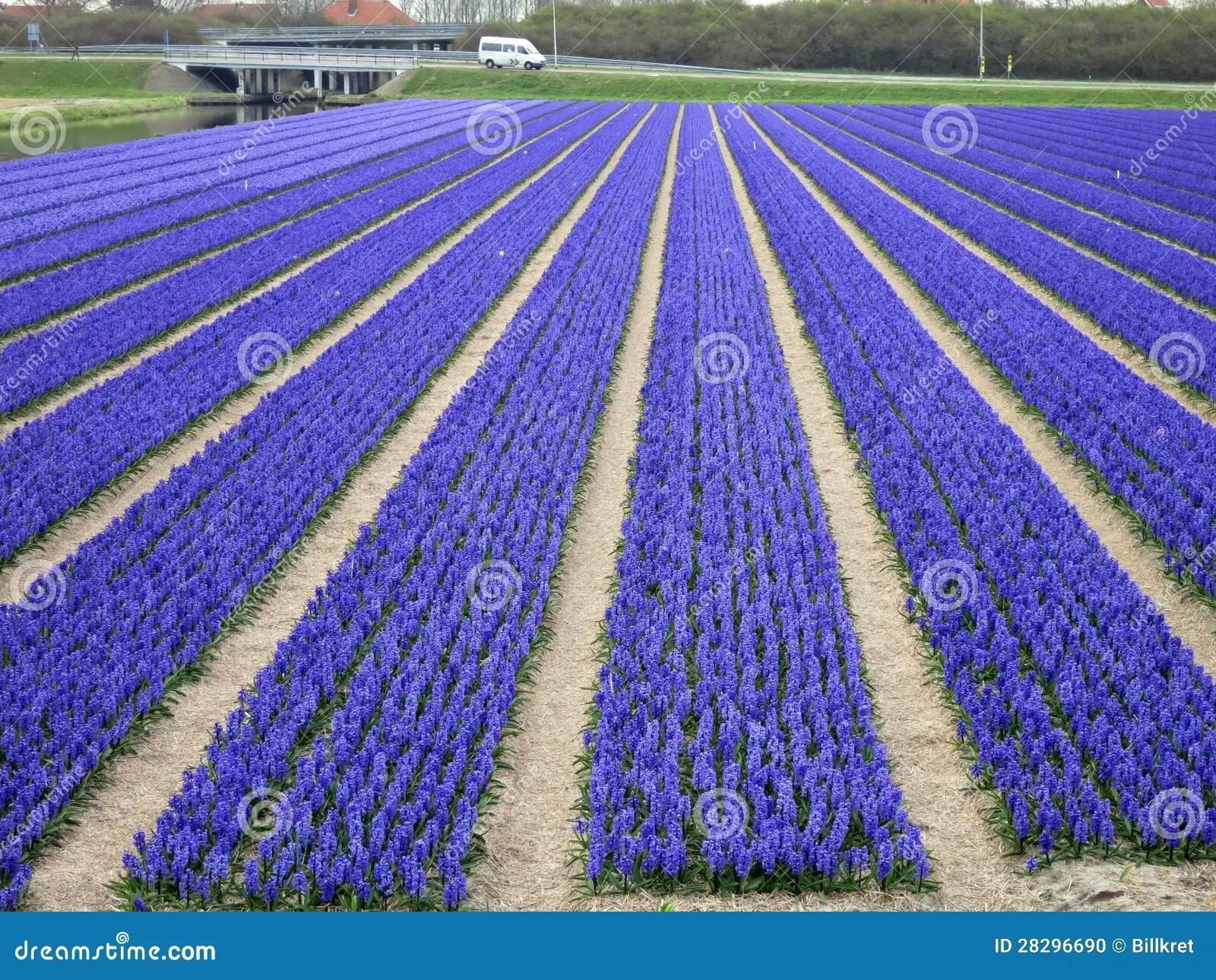 Felder Der Blumen In Holland Stockfoto  Bild von frech